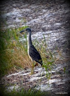 Some type of little heron