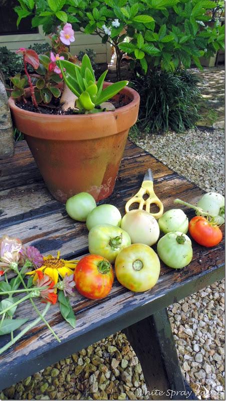 StinkBugsandTomatoes2015