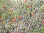 Close-up, flowering Ocotillo 5/8