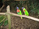 Lorikeets at the Nashville Zoo 09032011