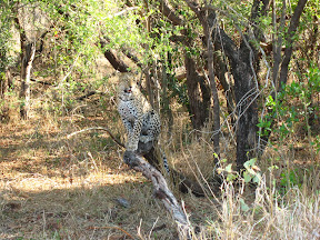 Another leopard we were lucky enough to see on that trip to Ulusaba... this one was with a group of three other leopards, which our guide said is also really rare, especially to see a male and female adult together with the young.