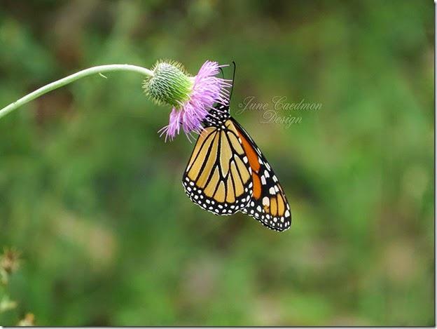 Monarch_closed