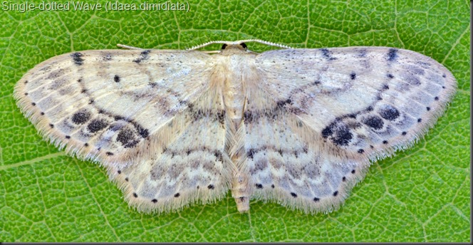 Single-dotted Wave Moth (Idaea dimidiata)