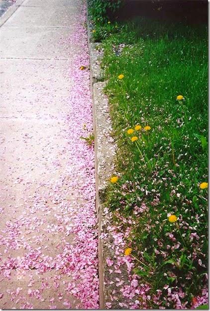 CrabappleBlossoms4