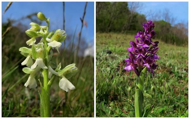 Z1-Muntii-Cernei-3673-orhidee.jpg