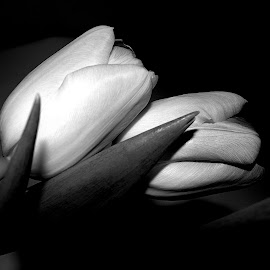 THE SPRING LOVE by Wojtylak Maria - Black & White Flowers & Plants ( flowers, in bloom, tulips, black and white, two )