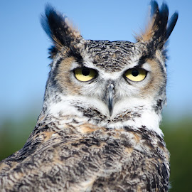 Owl by Ben, Instagram: @bgrantphotos - Novices Only Wildlife ( bird, bird of prey, my1eye, owl, wildlife, eyes )