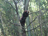 A red panda at the Nashville Zoo 09032011