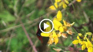Een nectarplant van de Sint-Jansvlinder is de Rolklaver
