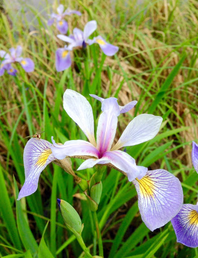 Wild iris flowers on the side of Mother North Star trail