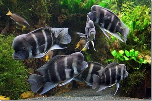 be-ca-canh-humphead_cichlid_frontosa_cichlid_cakylan_hoangquan6soc-be-thuy-sinh
