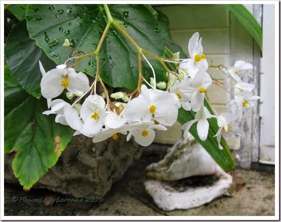 05-06-begonia