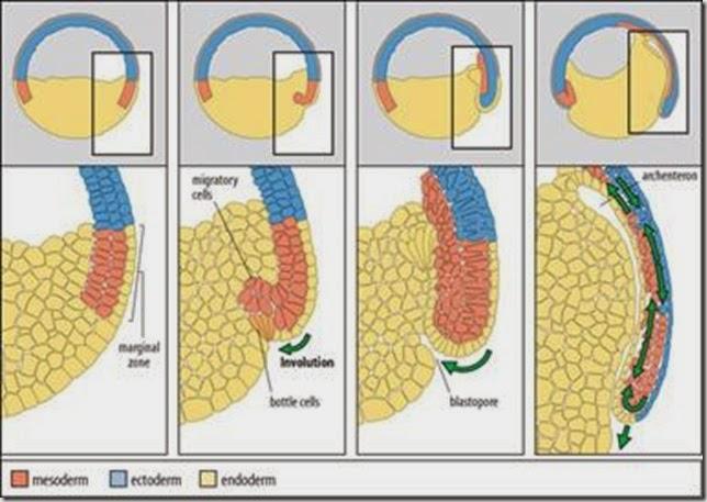 lapisan germinal