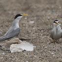 Least Tern (family)