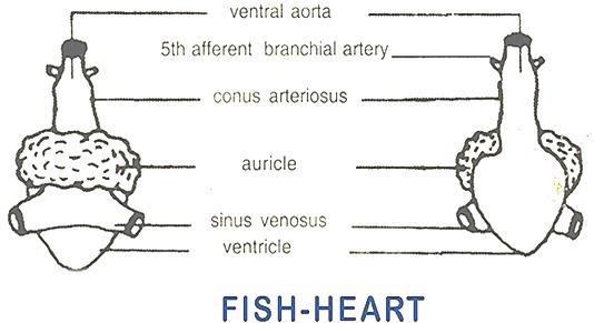 FISH-HEART