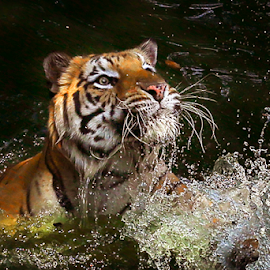 Strictly Focus ... by Joshua Sujasin - Animals Lions, Tigers & Big Cats ( tiger, panthera tigris. reserve animal, vertebrae, animal )