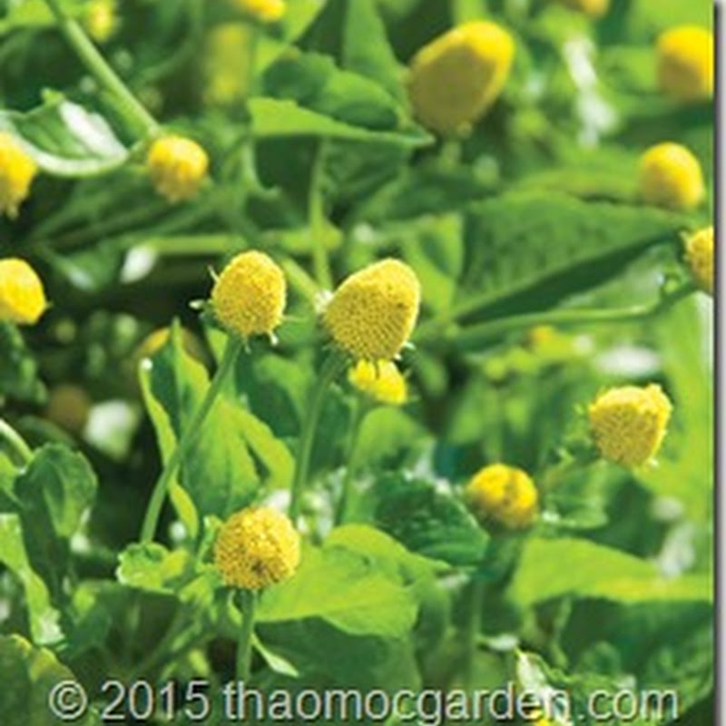 Hạt Giống Toothache Plant- Cúc áo hoa vàng - Spilanthes Acmella - ACM00032