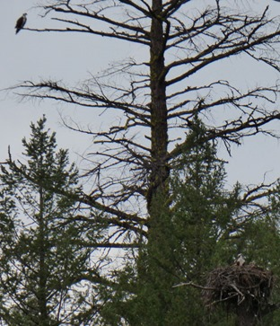 Osprey at Burney Falls