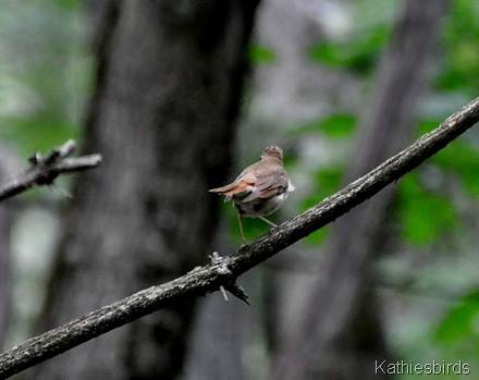 7. young Hermit thrush-kab