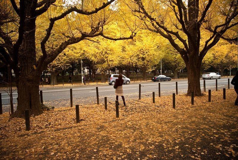 ginkgo-avenue-tokyo-2