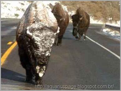 bisons fugindo Yellowstone