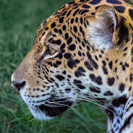 Jaguar Gaze by David Hammond - Animals Lions, Tigers & Big Cats ( jaguar, mammals, headshot, big cats, animals, nature, threatened specie, captive, profile,  )