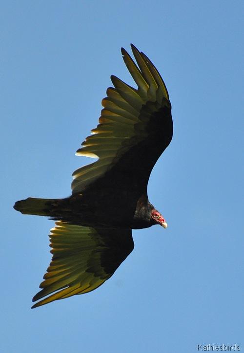 3. turkey vulture-kab