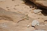 Wadi Rum - Lézard