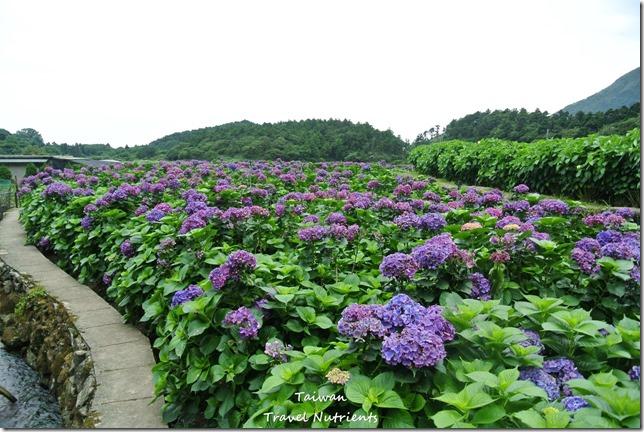陽明山繡球花 (62)