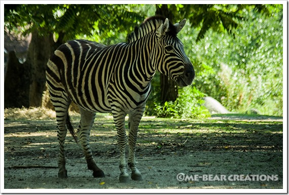 Zebra_01