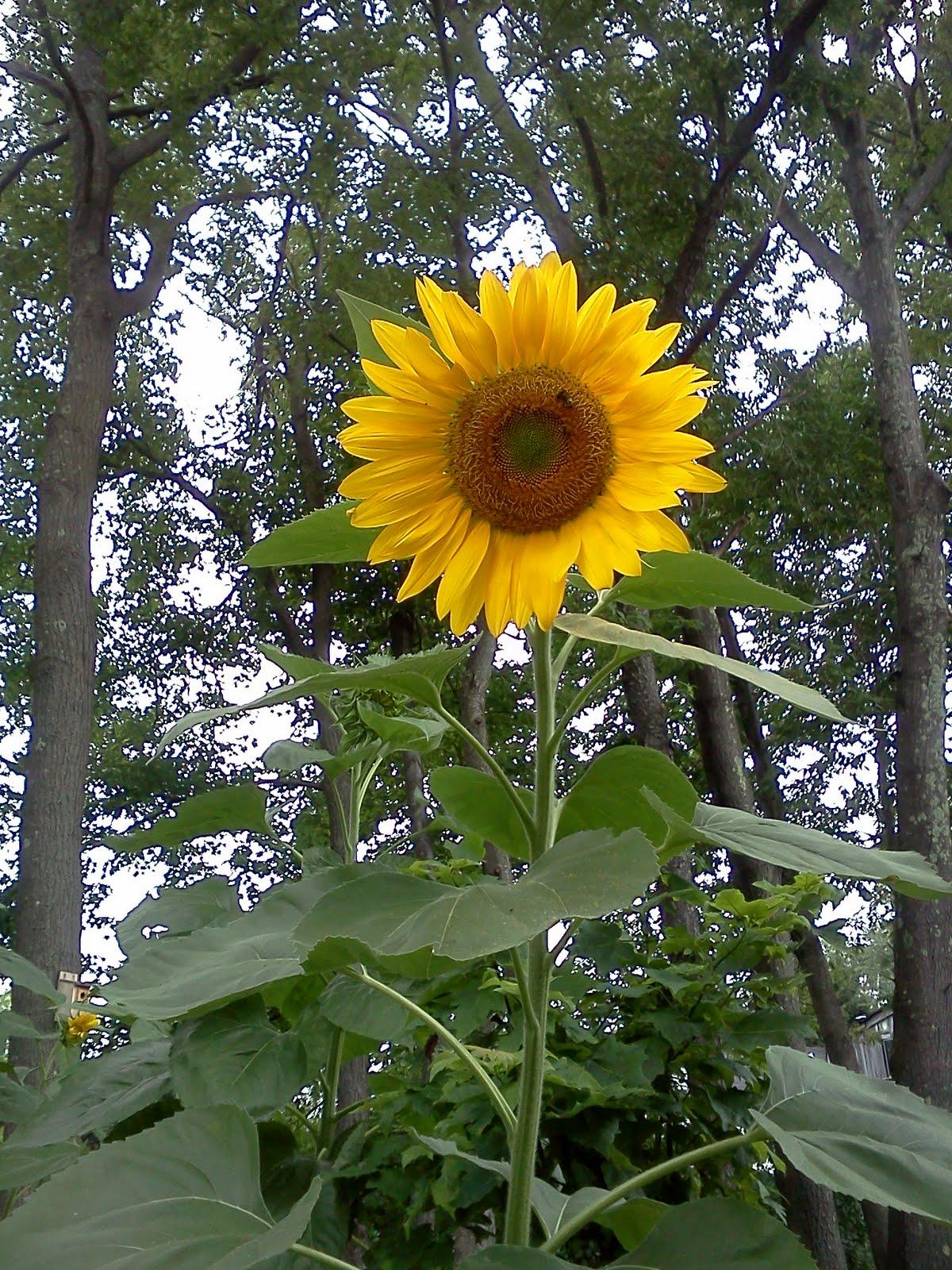 sunflowers had bloomed.