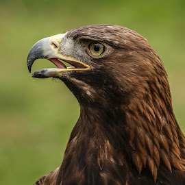Goldie by Garry Chisholm - Animals Birds ( bird, garry chisholm, nature, wildlife, prey, raptor, golden eagle )