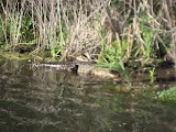 Alligator at Barefoot Landing in Myrtle Beach - 03