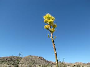 Brilliant Agave greeted us in Mortero Wash in the Anza Borrego Desert