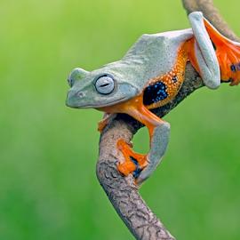 Ready to jump by Kurito Afsheen - Animals Amphibians ( canon, macro photography, frog, tree frog, amphibian, animal )