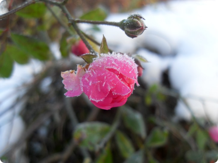 Røde kinder med frost