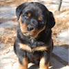 I Love Rottweiler Puppies I Love Rottweiler Puppies
