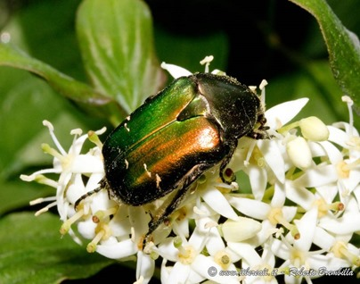 19_Cetonia aurata_Albosaggia (4) (FILEminimizer)