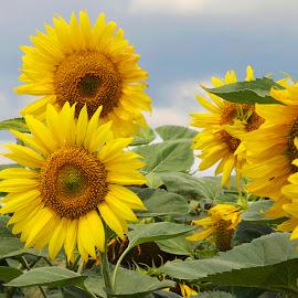 sunflowers field by LADOCKi Elvira - Flowers Flowers in the Wild ( nature, flowers, garden )