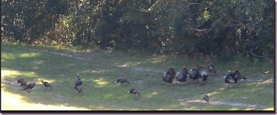turkeysDSCN0066