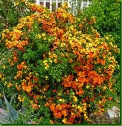 Marmalade Bush1