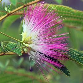 pink blossoms by LADOCKi Elvira - Flowers Tree Blossoms ( nature, flowers, garden )