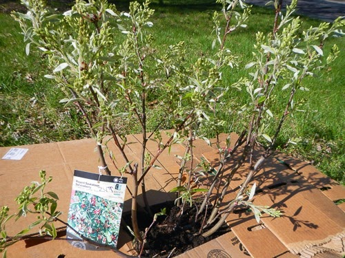 Planting a Serviceberry