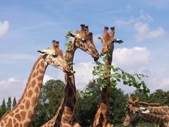 2007.08.09-036 repas des girafes
