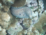 White Mouth Moray in Honolua Bay