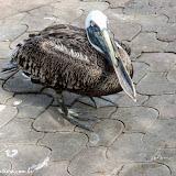 Pelicano de bico quebrado - Puerto Ayora, Santa Cruz - Galápagos, Equador