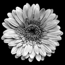 Gerbera by Asif Bora - Black & White Flowers & Plants