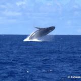 TongaWhaleWatching