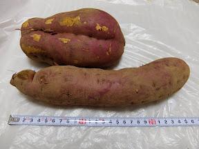芋ほり遠足のサツマイモ