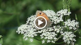 Het Hooibeestje op een heel scherm van wiite bloemen